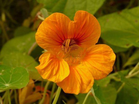 キンレンカ(ナスタチウム)の育て方!冬越しの方法や花言葉など7つのポイント!