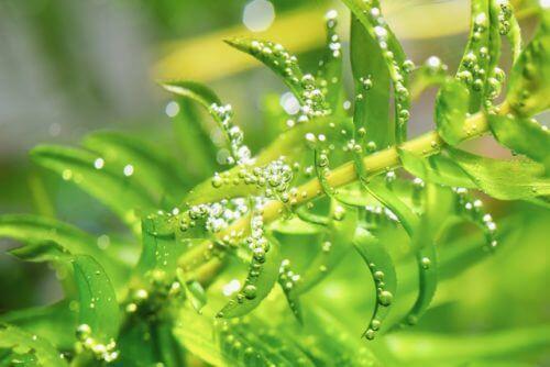 オオカナダモ(アナカリス)のまとめ!】育て方(栽培)や水質浄化作用等12 ...