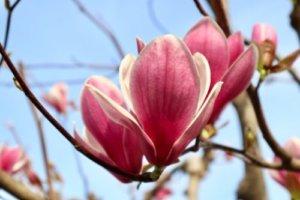 シモクレン(紫木蓮)のまとめ!】育て方(育て方や似た花)と花言葉等7個 ...