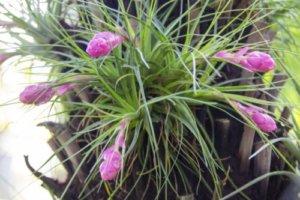 リプサリスのまとめ 増やし方や花言葉など11個のポイント 植物の育て方や豆知識をお伝えするサイト
